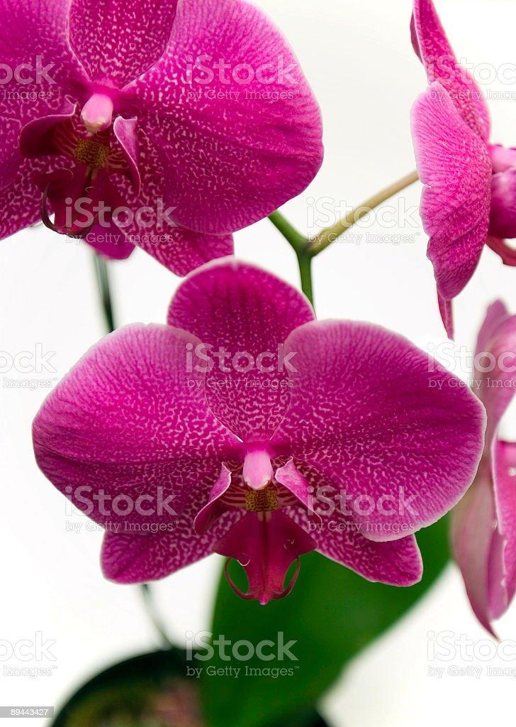 Red Orchid photo libre de droits
