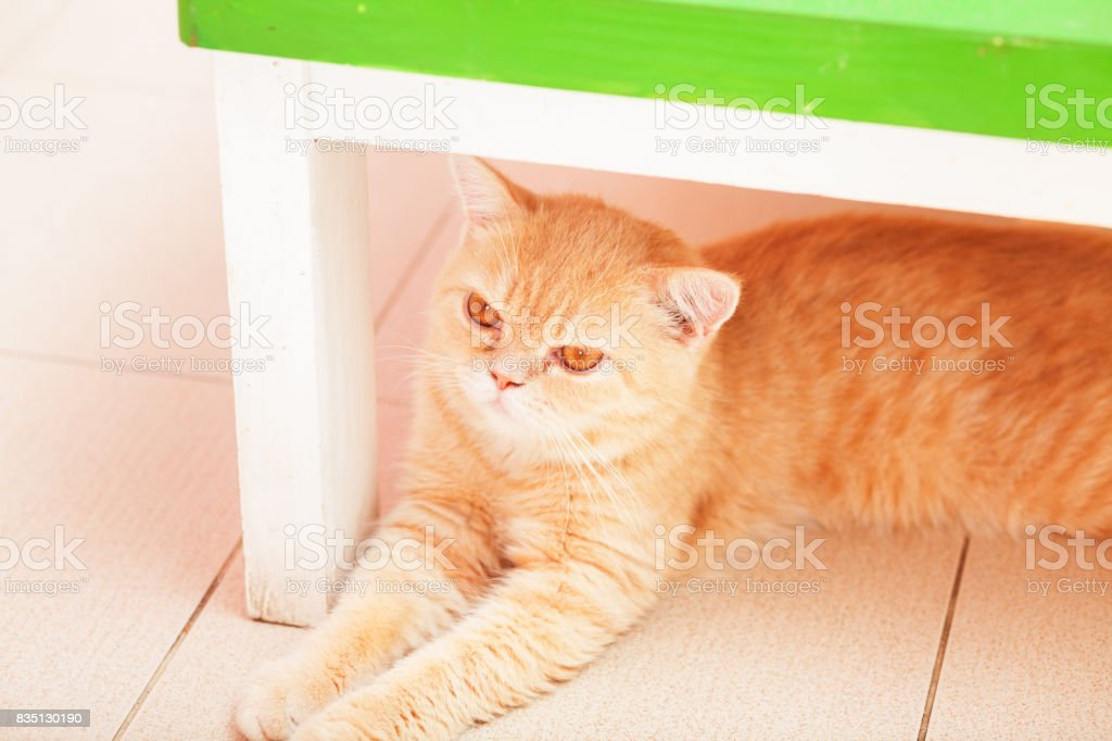 Red organge colored cat stock photo