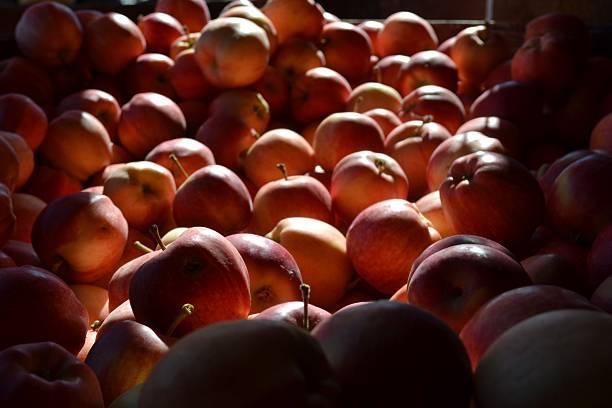 rot bio äpfel im herbst sonnenlicht - hofladen stock-fotos und bilder