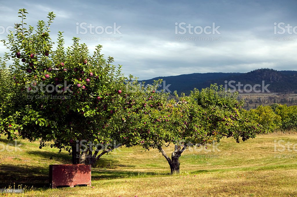 red organic spartan apple container bins harvest royalty-free stock photo