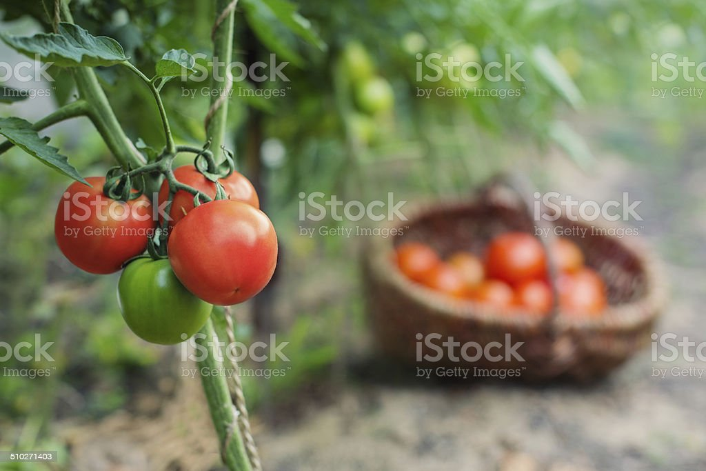 red organic tomato plant and fruit stock photo