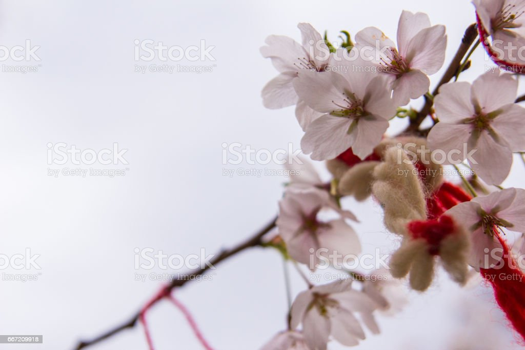 Red oriental ornamentals on a blooming cherry tree royalty-free stock photo