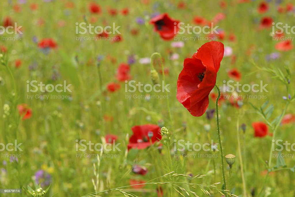 Red Oriental Poppies royalty-free stock photo