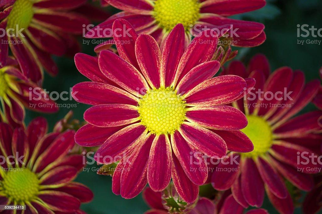 Rojo osteospermum flor de Margarita foto de stock libre de derechos