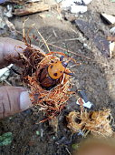 The red palm beetle came out of its nest