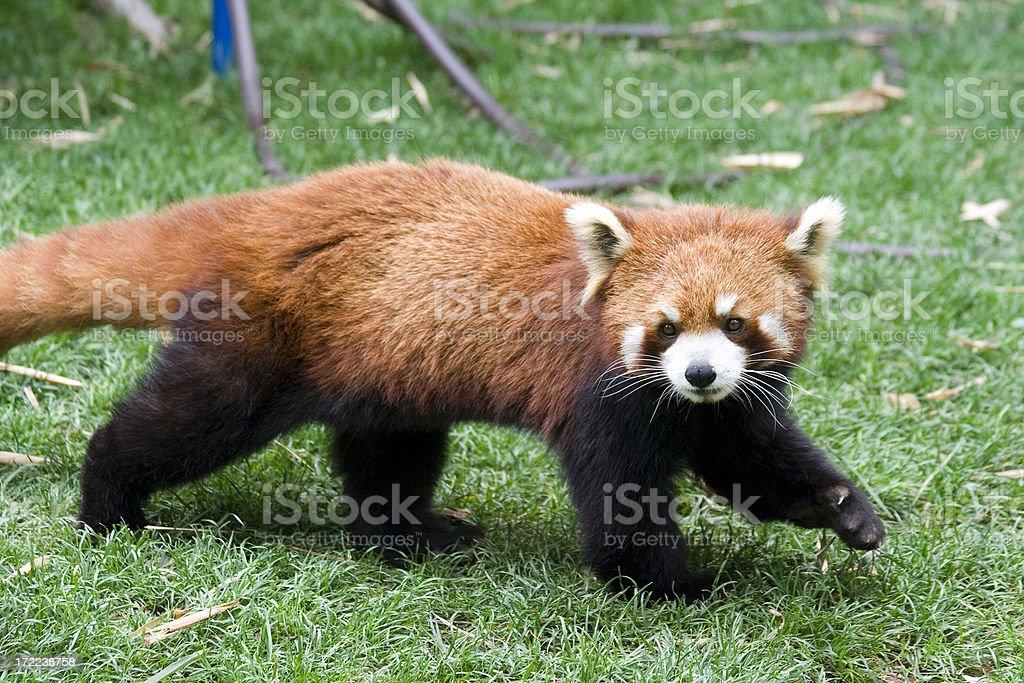 Red Panda 2 royalty-free stock photo