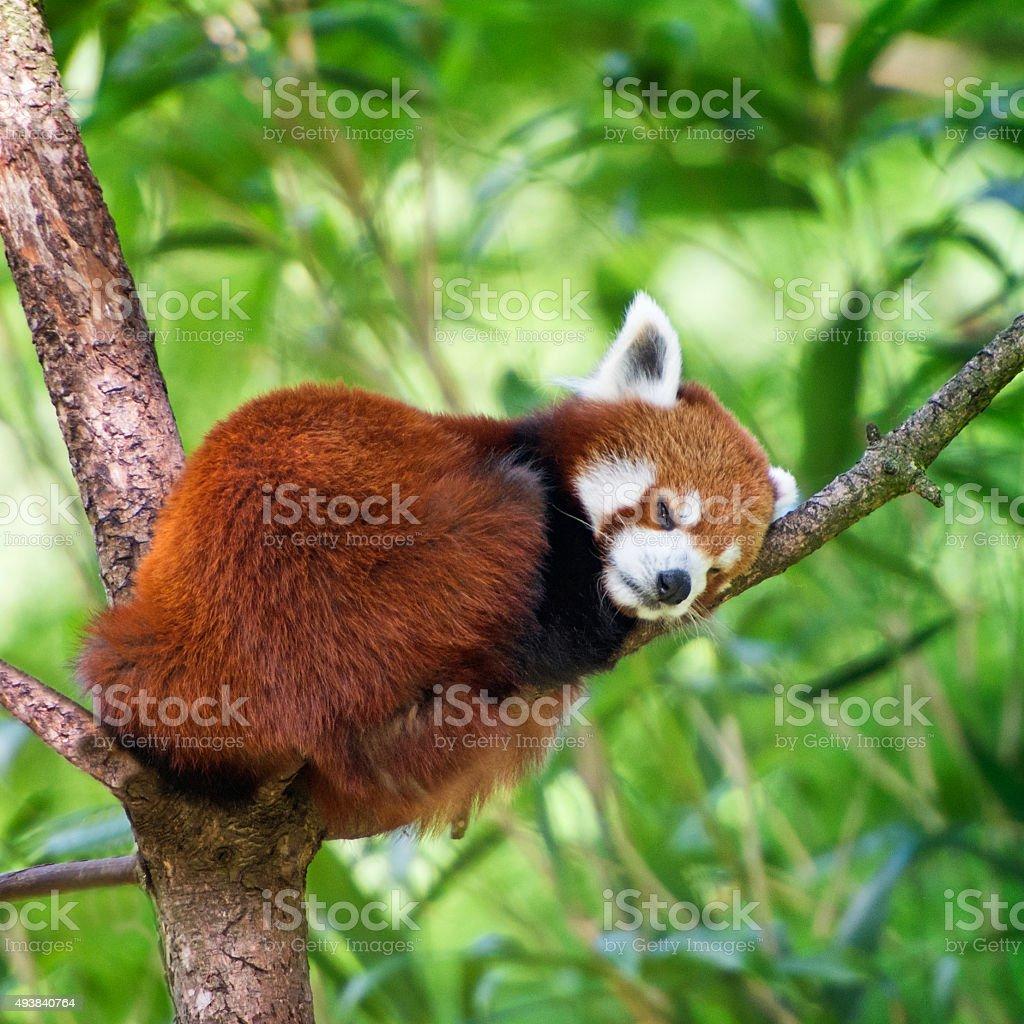 Red panda - Ailurus fulgens stock photo