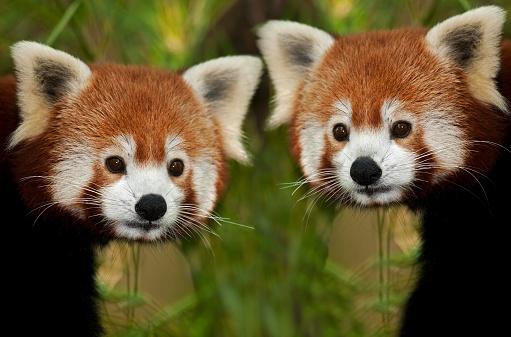 Red Panda, ailurus fulgens, Portrait of Adults