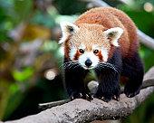 Red Panda walking along the tree.