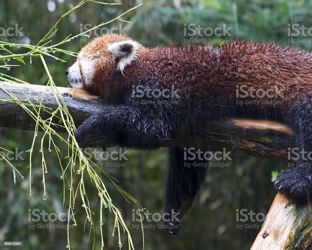 Red Panda cooling off stock photo