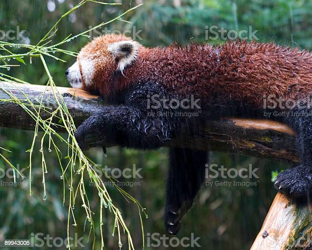 Red Panda Cooling Off Stock Photo - Download Image Now