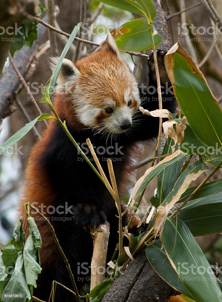 Red Panda Eastern Himalayas and Southwestern China – Foto