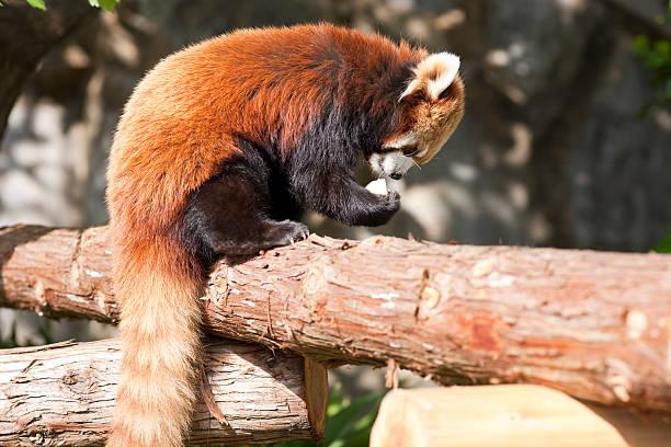 Red Panda eating an apple stock photo