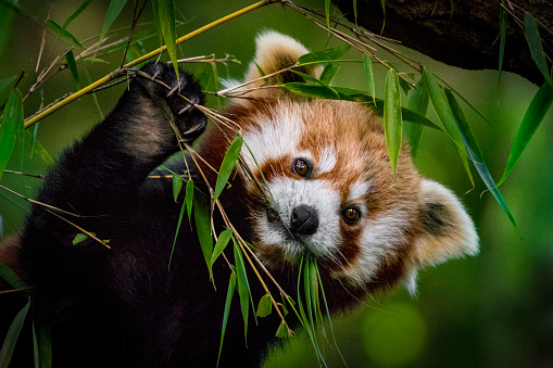 Portrait of Red panda in the forest eating bamboo leaves.