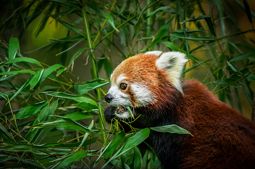 Red panda in the forest eating bamboo leaves.