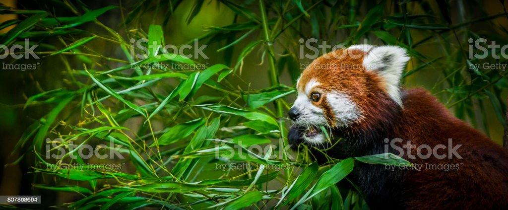 Red panda comendo bambu deixa - o estandarte da vida selvagem - foto de acervo