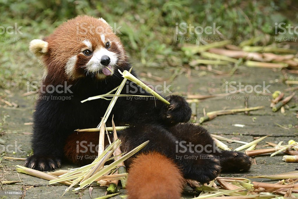 Red panda eating bamboo royalty-free stock photo