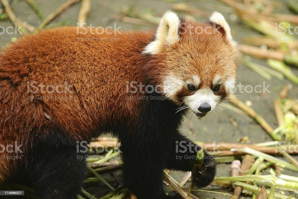 Red panda eating bamboo royalty-free stock photo