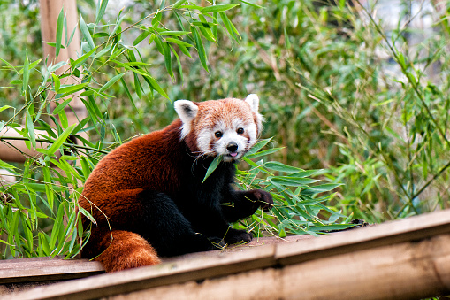Red panda eating bamboo leaf ( Panda roux qui mange une feuille de bambou). The red panda is larger than a domestic cat, it has reddish-brown fur, a long, shaggy tail, and a waddling gait due to its shorter front legs.