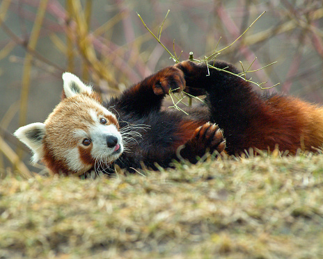A closeup of a Red Panda eating