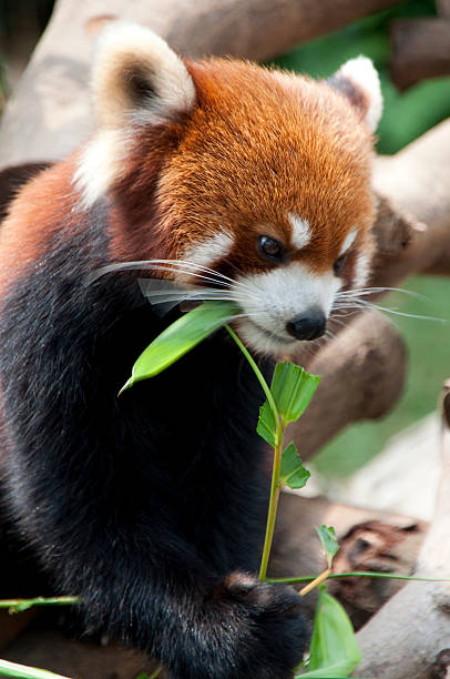 Red Panda Eating stock photo