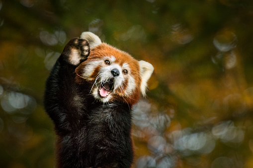 Greeting of red panda. Red panda waving its paw with opened mouth, as if to say hello.