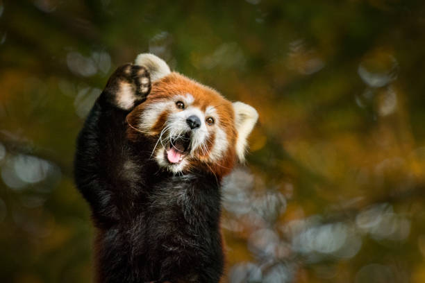 Red panda greeting with raised paw stock photo