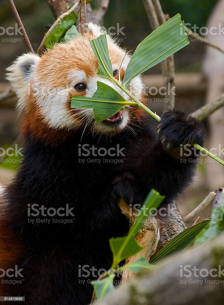 Red Panda hiding/ eating cute – Foto