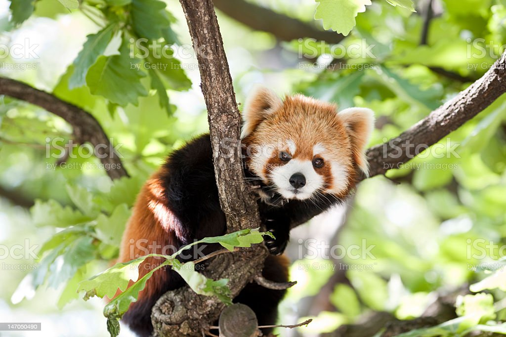 Red panda in a tree looking at the camera A red panda sitting in a tree in a Yokohama zoo (Adobe RGB) Animal Stock Photo