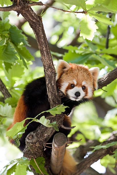 Red Panda in a tree stock photo