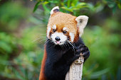 Red panda (Ailurus fulgens) in a zoo in the Ocean park in Hong Kong, China.