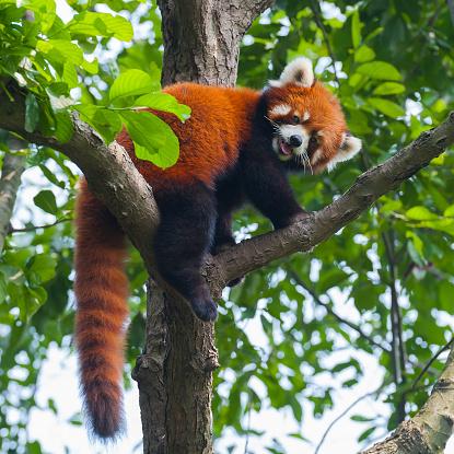 Cute red panda bear climbing tree