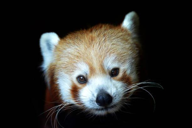 Red panda (Ailurus fulgens) isolated on black background. stock photo