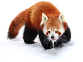 Red Panda on the Snow in the Warsaw ZOO