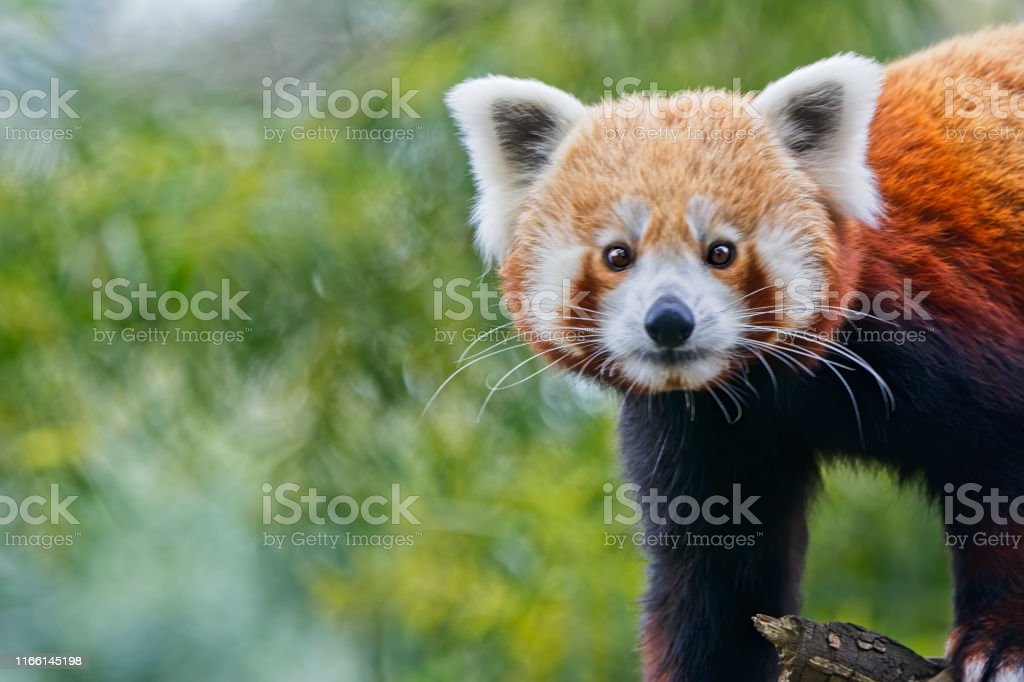 Red Panda (Ailurus fulgens) - Royalty-free Animal Stock Photo