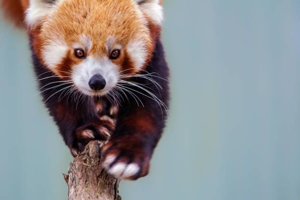 Red panda picture id1167482138?b=1&k=6&m=1167482138&s=612x612&w=0&h=fnbbrbbezckwoh8zt68eiyymooqgofzwypbwisldvfw=