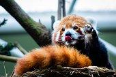 Cute red panda says hi