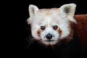 Portrait of a red panda against a black background.