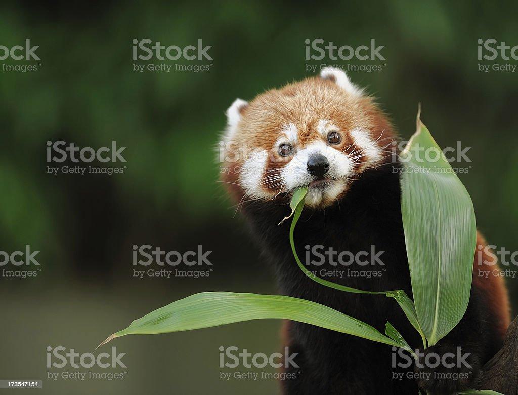 red panda a red panda eating bamboo Animal Stock Photo