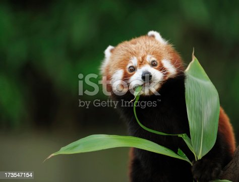 a red panda eating bamboo