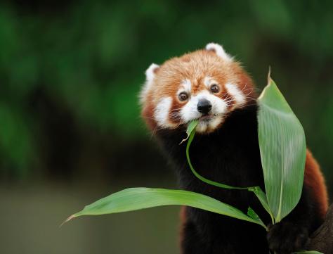 a red panda eating bamboo