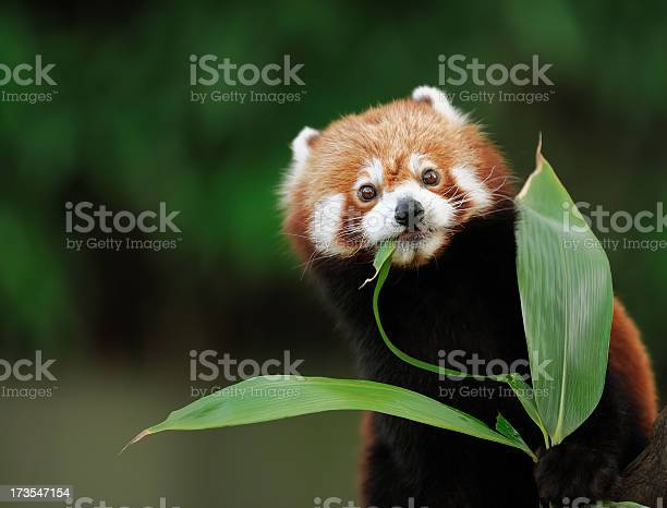 Red Panda Stock Photo - Download Image Now