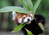 a red panda eating bambooThis endangered specie is also known as lesser panda or red cat-bear.