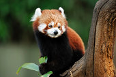 a red panda on a treeThis endangered specie is also known as lesser panda or red cat-bear.