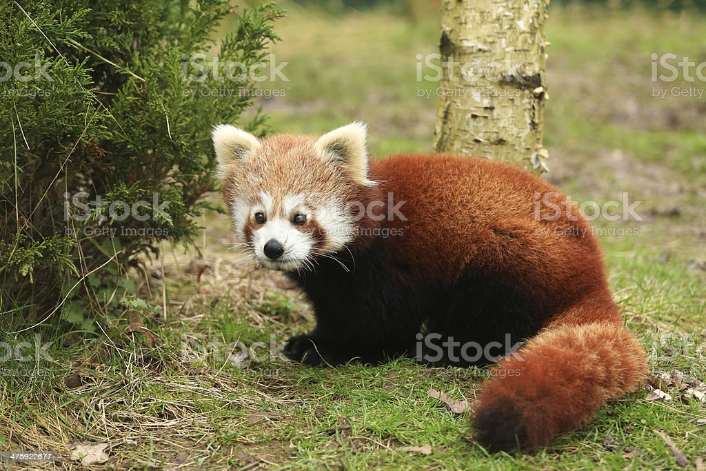 Red Panda The red panda (Ailurus fulgens), also called lesser panda and red cat-bear, is a small arboreal mammal native to the eastern Himalayas and southwestern China. Animal Stock Photo