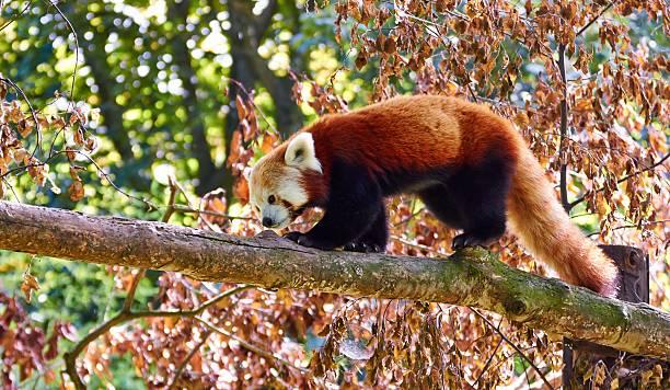 Red panda picture id510355405?b=1&k=6&m=510355405&s=612x612&w=0&h=tpu6 zdmhubbmjgkww04njszq2snmqajn1sqj0thw1c=