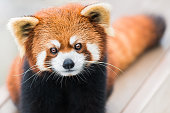 A frontal portrait of a Red Panda