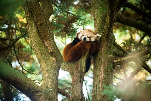 A Red Panda asleep in a tree.