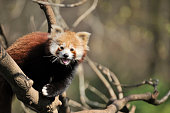 a red panda on a tree