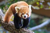 A red panda (Ailurus fulgens)